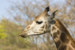 Head of young giraffe Stock Photography