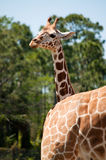 A head of young giraffe Royalty Free Stock Photos