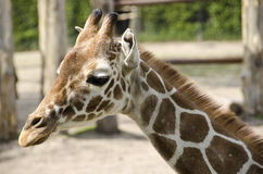 Head of a young giraffe Stock Images