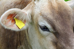 Head of a young inquisitive brown cattle Royalty Free Stock Photography