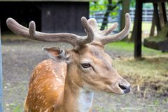 Head of a young king`s deer with antlers, deere at the zoo stock photography