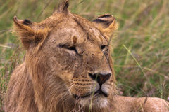Head of a young lion. Kenya Stock Photography