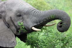 Head of a young male African elephant feeding on acacia, Royalty Free Stock Photo