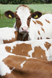 Head of young red cow behind other cows Royalty Free Stock Photos