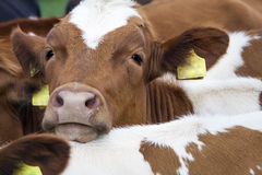 Head of young red cow between other cows Stock Image