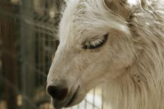 Head of young smiling goat Royalty Free Stock Images