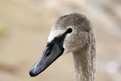 Head of young swan Royalty Free Stock Photo