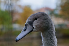 The head of the young swan. Royalty Free Stock Photos