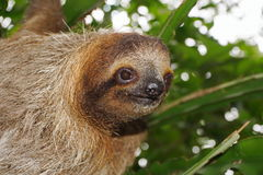 Head of young three-toed sloth in the jungle Stock Image
