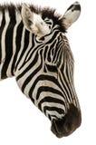 Head of zebra. A beautiful wild zebra wth white background Royalty Free Stock Photo