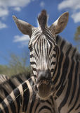 Head of a zebra close up. In a sunny day Stock Images