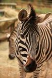 Head of zebra Royalty Free Stock Photos