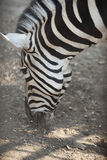 Head of a zebra. Close up smell the earth Royalty Free Stock Photos