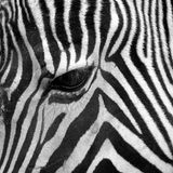 Head zebra eye. A close up of the side of a head zebra stock image
