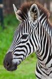 Head of zebra in green field Royalty Free Stock Image
