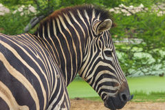 Head of zebra in nature Stock Photo