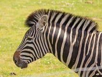 Head of a Zebra Stock Photo