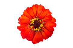 Head of zinnia flower Royalty Free Stock Images