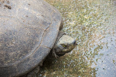 Headed box turtle Royalty Free Stock Photo