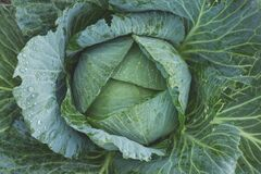 Headed cabbage