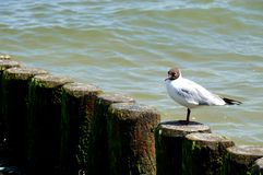 Headed Gull gets comfortable Royalty Free Stock Photos