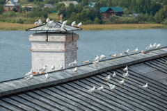 Headed gulls resting on the roof Stock Image
