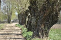 Headed willow tree on a boggy meadow. Spring Royalty Free Stock Images
