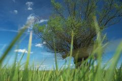 Headed willow tree on a boggy meadow. Spring Stock Image