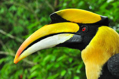 Header image of Hornbill. Header image of Hornbill A bird with a high risk of extinction. Most of this species lives in the deep wild Stock Photo