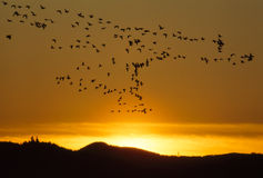 Heading Home. Geese At Sunset. Branta canadensis Stock Image