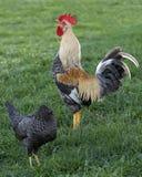 Headless κοτόπουλο Στοκ Εικόνα