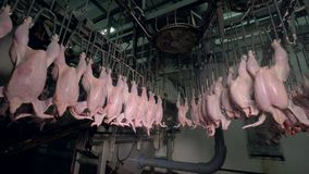 Headless chickens transported through ceiling lines near factory equipment