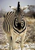 Headlong Ansicht des Zebras Stockbilder
