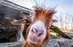 Headportrait anteriore divertente della capra Fotografie Stock