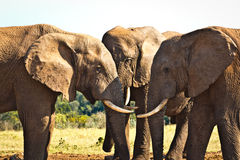 The Heads - African Bush Elephant. The Heads - The African bush elephant is the larger of the two species of African elephant. Both it and the African forest royalty free stock image