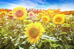 Heads of beautiful blooming sunflowers in the morning sun Royalty Free Stock Images