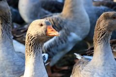 Heads of beautiful gray geese with orange beaks, perigord geese on a farm. Heads of beautiful gray geese with orange beaks, perigord geese on a traditional farm royalty free stock photography
