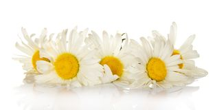 Heads of bright white camomiles Stock Photos