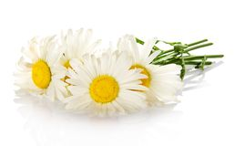 Heads of bright white camomiles Stock Image
