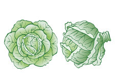 Heads of cabbage. Vector realistic illustration for food designs Royalty Free Stock Images