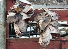 Heads of cod fish hanged for drying. In Lofoten, Norway stock photos