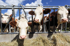 Heads of cow Royalty Free Stock Photography