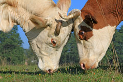 Heads of cows against a pasture Royalty Free Stock Image