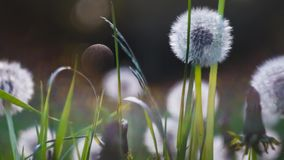 Heads of dandelion flower slightly moved by the wind, sunlight flares and round bokeh playing in background