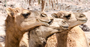 Heads of dromedaries. In a zoo Royalty Free Stock Images