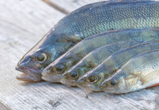 Heads of five perch Stock Photography