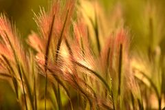 Heads of foxtail barley Stock Images