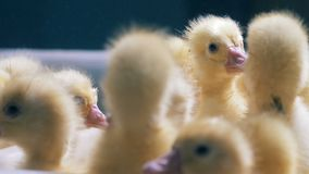 Heads of fussing and quacking baby ducks in a close up. Poultry, poultry farming, poultry industry concept.