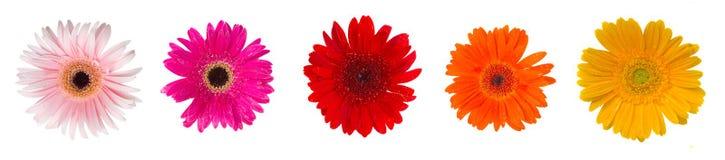 Heads of gerbera flowers Royalty Free Stock Image