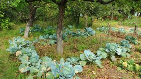 Heads of green cabbage in the kitchen garden stock video footage